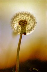 DandelionSun_-001.jpg