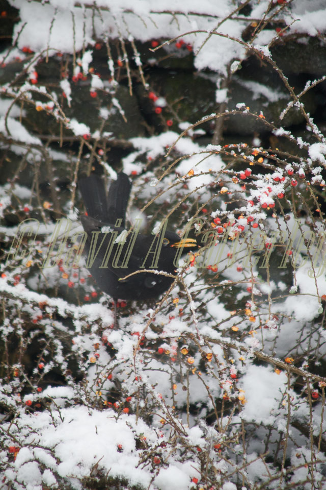 Blackbird,_Snow,_Berries_003.jpg