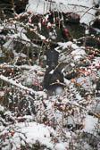 Blackbird, Snow, Berries 001