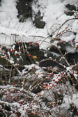 Blackbird, Snow, Berries 005
