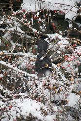 Blackbird,_Snow,_Berries_001.jpg
