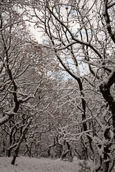 Snow,_Delves_Wood_-015.jpg