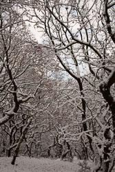 Snow,_Delves_Wood_-015.jpg