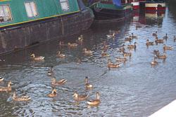 Ducks-001.jpg