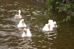 Ducks-003.jpg