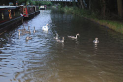 Swan-002.jpg