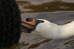 Swan-004.jpg