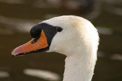Swan-005.jpg