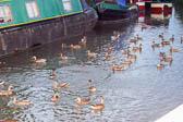 Ducks 06