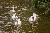 Ducks 06 (2)