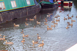Ducks_06.jpg