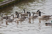 Canada_Geese_Shropshire_Union_Canal-007