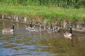 Canada_Geese_Shropshire_Union_Canal-009