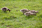 Canada_Geese_Shropshire_Union_Canal-017