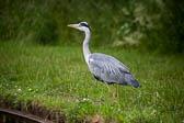 Heron_Shropshire_Union_Canal-006