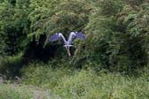 Heron_Shropshire_Union_Canal-011