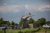 Heron_Shropshire_Union_Canal-023