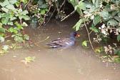 Moorhen_Shropshire_Union_Canal-002
