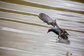 Moorhen_Shropshire_Union_Canal-004