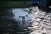 Swan_Shropshire_Union_Canal-032