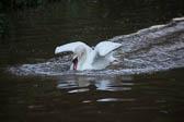 Swan_Shropshire_Union_Canal-033
