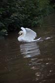 Swan_Shropshire_Union_Canal-035