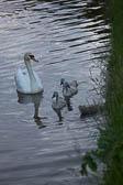 Swan_Shropshire_Union_Canal-038