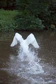 Swan_Shropshire_Union_Canal-046