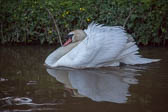 Swan_Shropshire_Union_Canal-056