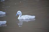 Swan_Shropshire_Union_Canal-057