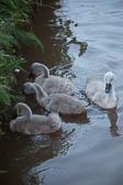 Swan_Shropshire_Union_Canal-067