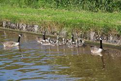 Canada_Geese_Shropshire_Union_Canal-009.jpg