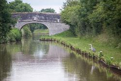 Heron_Shropshire_Union_Canal-001.jpg