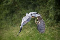 Heron_Shropshire_Union_Canal-008.jpg