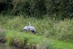 Heron_Shropshire_Union_Canal-010.jpg