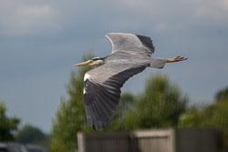 Heron_Shropshire_Union_Canal-023.jpg