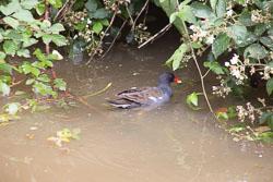 Moorhen_Shropshire_Union_Canal-002.jpg