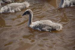 Swan_Shropshire_Union_Canal-013.jpg