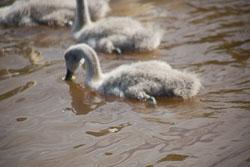 Swan_Shropshire_Union_Canal-014.jpg