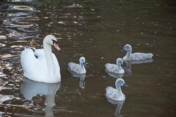 Swan_Shropshire_Union_Canal-028.jpg