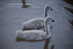 Swan_Shropshire_Union_Canal-042.jpg