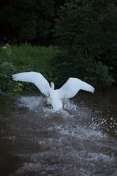 Swan_Shropshire_Union_Canal-047.jpg