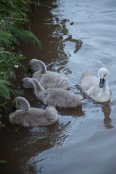 Swan_Shropshire_Union_Canal-067.jpg