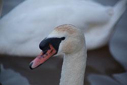 Swan_Shropshire_Union_Canal-069.jpg
