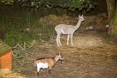 Alpacca_&_Goat-001
