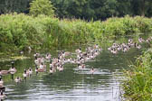 Canadian_Geese-103
