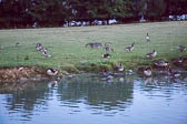 Canadian_Geese-107