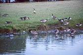 Canadian_Geese-108