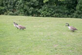 Canadian_Geese-111