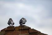 Pigeon-112